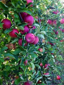 fraisochamp_pommes